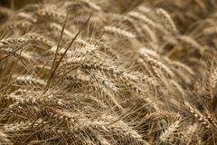 Wheat field, beautiful wheat field, it would be a good and rich harvest - ear of wheat. Wheat field - golden grain of wheat, it is mean rich harvest royalty free stock image
