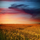 Wheat field and beauty clouds in sunset time Stock Photography