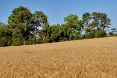 Wheat Field and big tree Stock Images