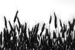 Wheat field ,black and white, silhouette, black and white photo. Wheat field ,black and white, silhouette stock images