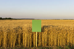 Wheat field with blank board for description. Agriculture experiments stock photo