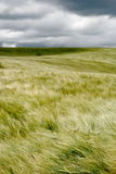 Wheat field blowing in wind. Scenic view of wheat field blowing in wind under dark cloudscape royalty free stock photography