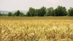 Field of wheat blown by the wind with trees on background. Wheat field blown by the wind panoramic view of wheat and background with trees stock footage