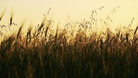 Field of wheat slowly blown by the wind with forest on background stock footage