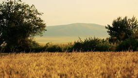 Field of wheat blown by the wind with big mountain on background and trees. Wheat field blown by the wind panoramic view of wheat and mountain on background and stock video footage