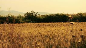 Field of wheat blown by the wind with trees on background stock video footage