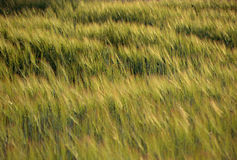 Wheat field blown by wind at sunset Stock Photo