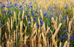 Wheat field with blue flowers. Beautiful wheat field almost ready for harvest with blue flowers royalty free stock images
