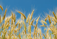 Wheat field and blue sky Royalty Free Stock Images