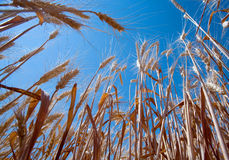 Wheat field and blue sky. Low angle view of ripe wheat field with blue sky background Stock Photography