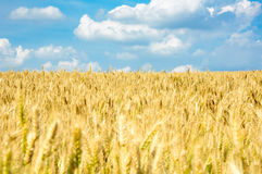 Wheat field and blue sky Stock Photos