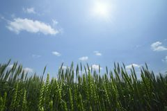 Wheat field with blue sky Royalty Free Stock Photo