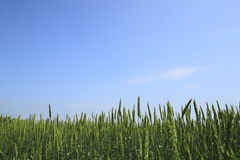 Wheat field with blue sky Stock Images