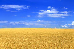 Wheat field with blue sky Royalty Free Stock Photos