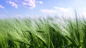 Wheat field and blue sky. Green ears of wheat are worried at the endless field of wheat against blue sky with few clouds stock footage