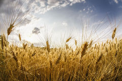 Wheat field. And blue sky Stock Photography