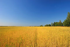 Wheat field and blue sky. Scenic view of golden wheat field with blue sky background Royalty Free Stock Photos