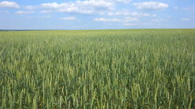 Wheat field and blue sky.  stock video footage