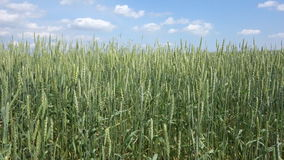 Wheat field and blue sky stock video