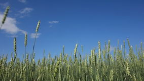 Wheat field and blue sky stock footage