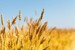 Wheat field and blue sky stock images