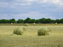 Wheat field blue sky Royalty Free Stock Image