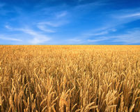 Wheat field and blue sky as background Royalty Free Stock Photos