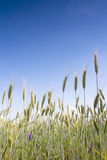 Wheat field with a blue sky background Royalty Free Stock Photos