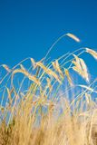 Wheat field and blue sky. On background Stock Images
