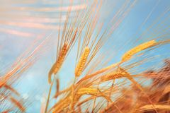 Wheat field and blue sky Royalty Free Stock Photo