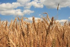 A wheat field with blue sky background stock photo