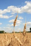 A wheat field with blue sky background. A wheat farm in Ohio Royalty Free Stock Image