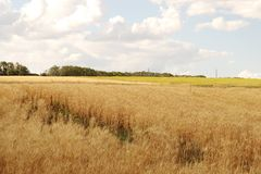 Wheat field on blue sky background with clouds.  royalty free stock photos