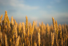 Wheat field with blue sky in the background Royalty Free Stock Image