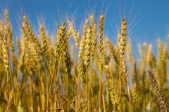 Wheat field with blue sky in background. Golden wheat field with blue sky in background Stock Images