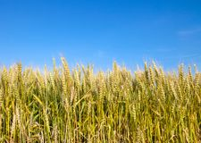 Wheat field with blue sky in background. Golden wheat field with blue sky in background Stock Photo
