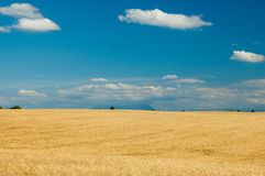 Wheat field on blue sky background Royalty Free Stock Photo