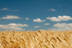 Wheat field on blue sky background Stock Photography