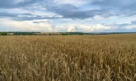 Wheat field on blue sky background royalty free stock images