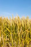 Wheat field with blue sky in background. Golden wheat field with blue sky in background Stock Photos