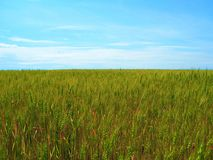 Wheat field on blue sky background royalty free stock image