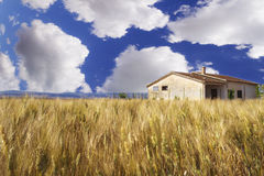 Wheat field, blue sky, big clouds. In the sky Stock Photos