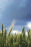 Wheat in field on blue sky Stock Photo