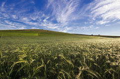 Wheat field with a blue sky and clouds stock photo