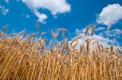 Wheat field and blue sky. With clouds Royalty Free Stock Image