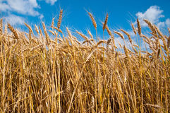 Wheat field and blue sky. With clouds Stock Photo