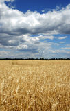 Wheat field and blue sky. Wheat field, clouds and blue sky Royalty Free Stock Images