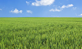 Wheat field and blue sky. Stock Photography