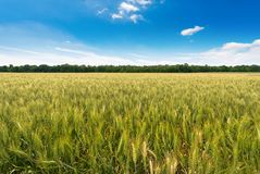 Wheat field with blue sky and clouds. Green wheat field with a row of trees and a blue sky with clouds Stock Image