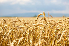 Wheat field with blue sky and clouds and mountain in background Royalty Free Stock Image